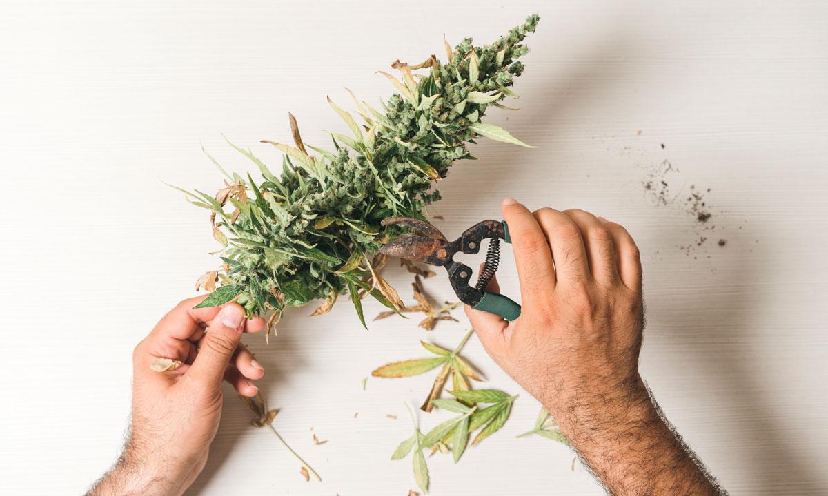 The Cfl - The Cannabis Football League