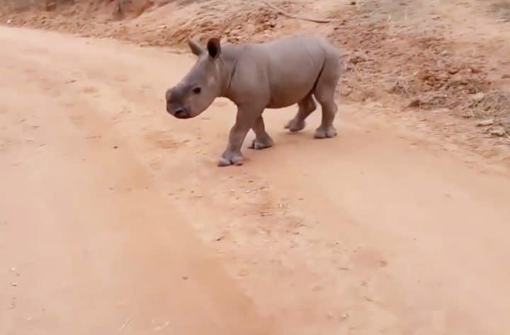 Warren The Baby Rhino