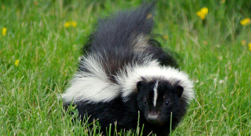 skunk mail