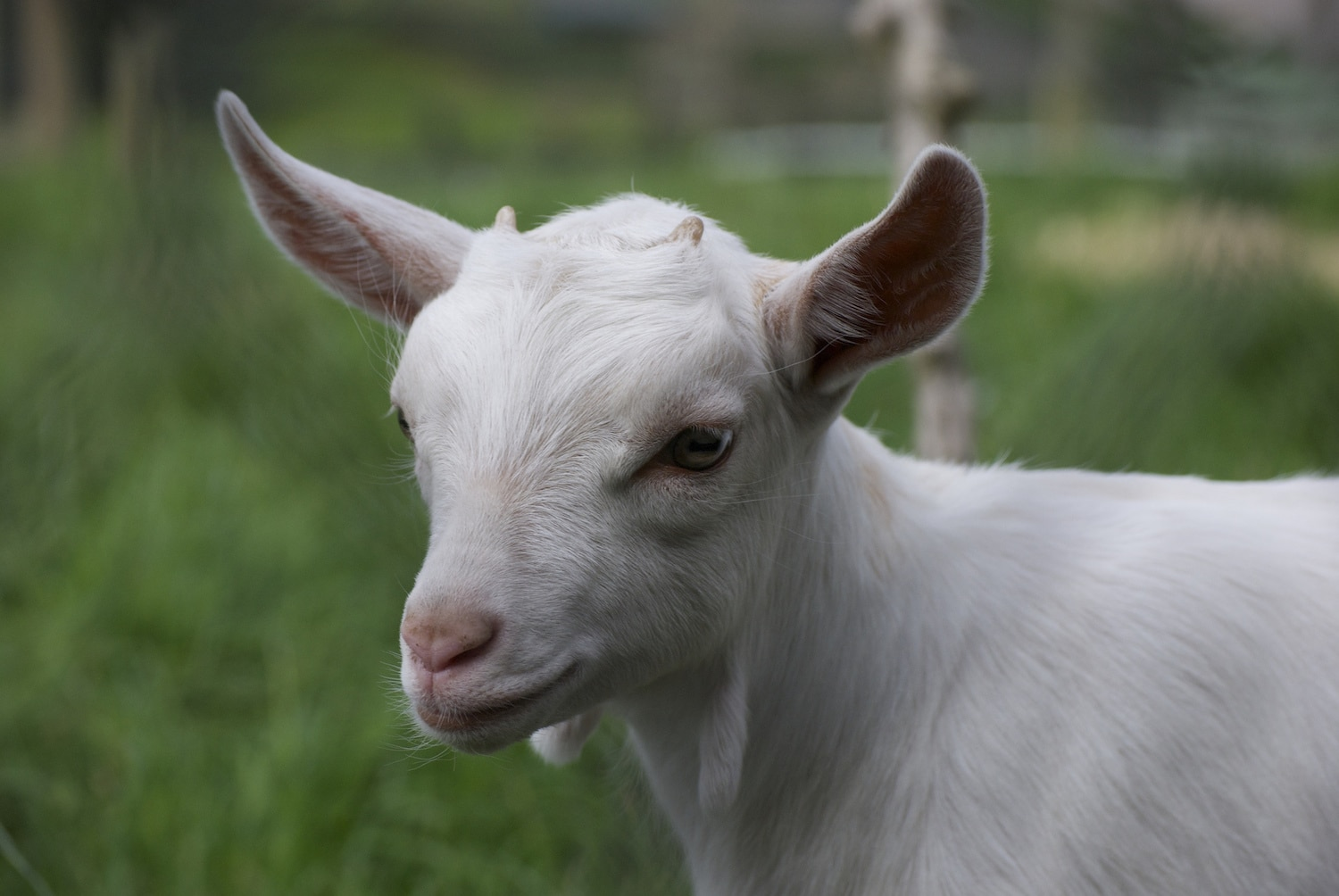 Dressing Up Like A Duck Helps This Baby Goat Deal With Anxiety - Rescue goat suffers anxiety calms duck costume
