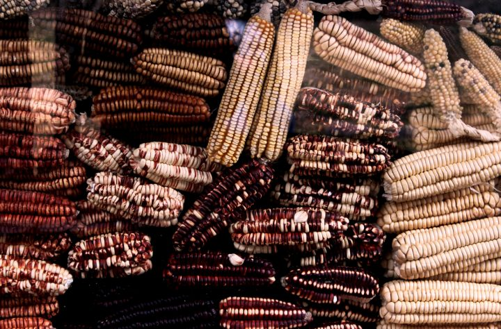 Hear Corn Grow