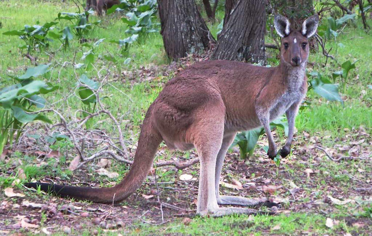 kangaroo