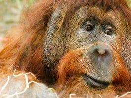 Orangutan's Baby Registry