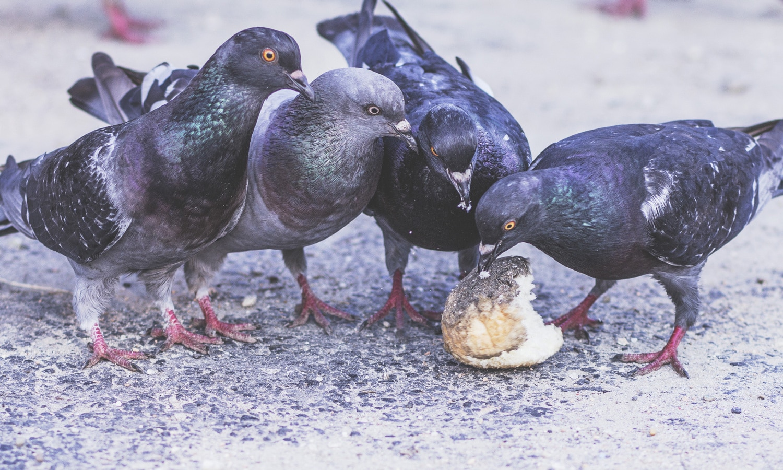 Pigeon sex — img 15