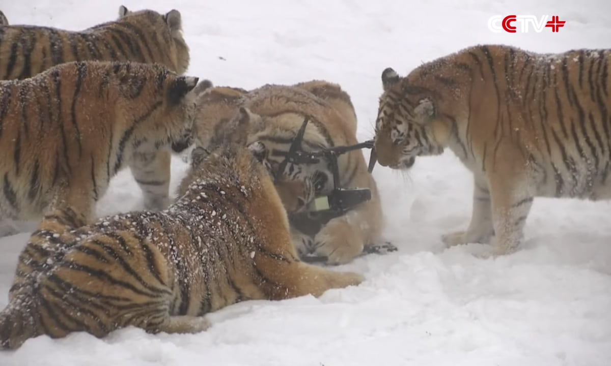 How Do You Train Chubby Siberian Tigers In The Winter? Drones