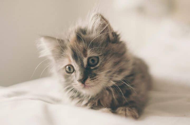 kitten as tip