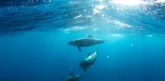 dolphin sex