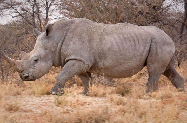 Male White Rhino