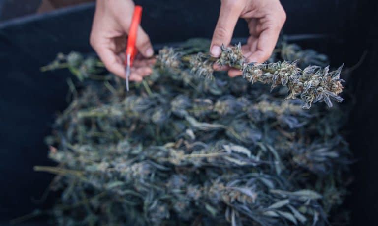 These Companies Will Establish Ethical, Organic Standards For Marijuana