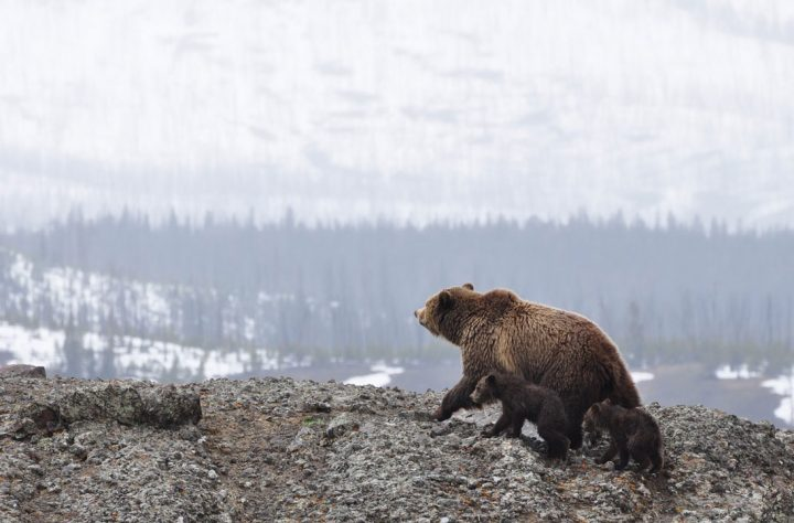 Alaskan Grizzly Bears