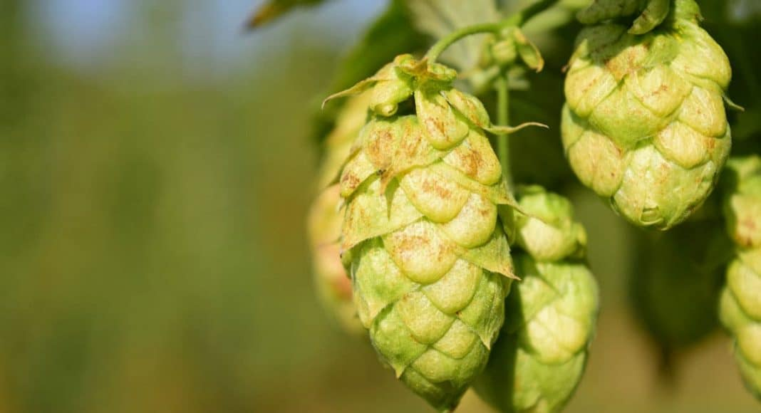 Cannabis And Hops: After 27 Millions Years, A Family Reunion
