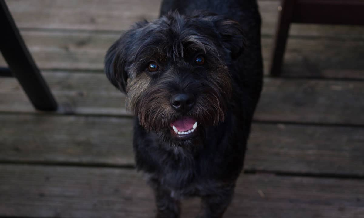 What Are The Best Vegetable For Your Mini Schnauzer Dog