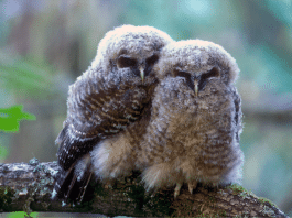 Marijuana Farms Are Killing Spotted Owls