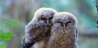 Marijuana Farms Are Killing Spotted Owls