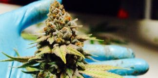 A Primer On The Science Of Cannabis Terpenes And Cannabinoids