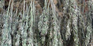 Cured Cannabis