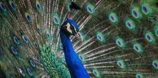 This Woman Tried To Board A Flight With An Emotional Support Peacock