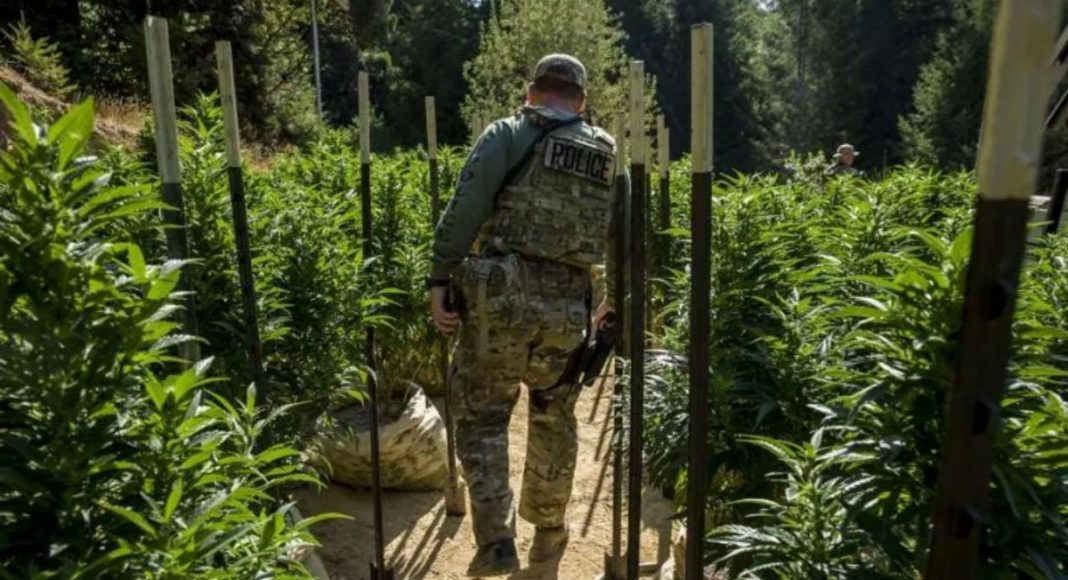 Green Rush Blues: Why The Illicit Market Will Thrive In California