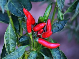 Hot Peppers Could Be Treatment For This Cannabis-Induced Syndrome