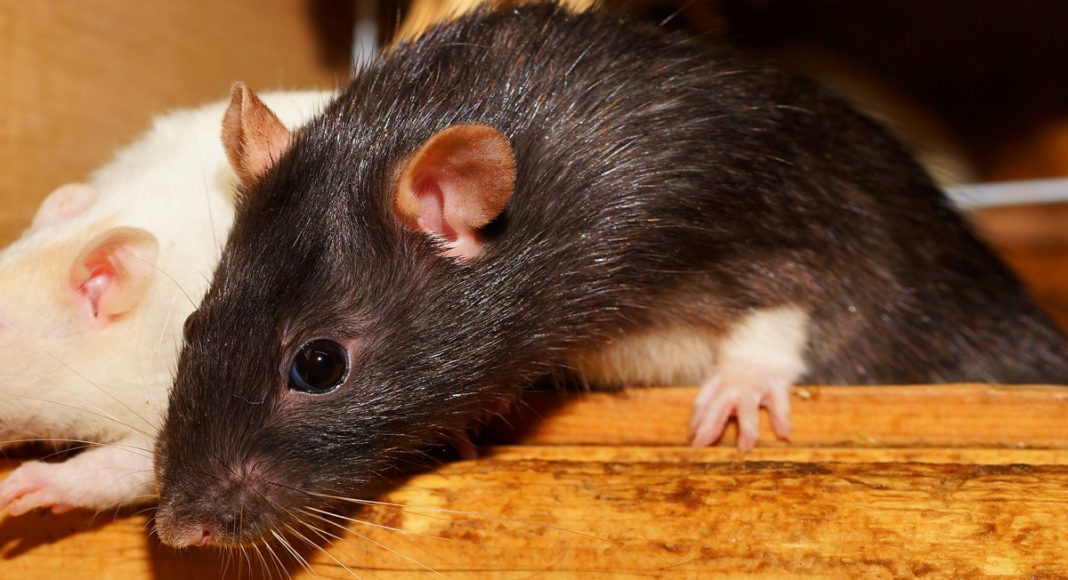 Did Rats In Argentina Gobble Up A Half A Ton Of Marijuana?