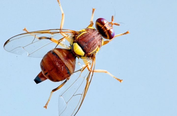 You're Welcome: Here's How To Make A Fruit Fly Orgasm