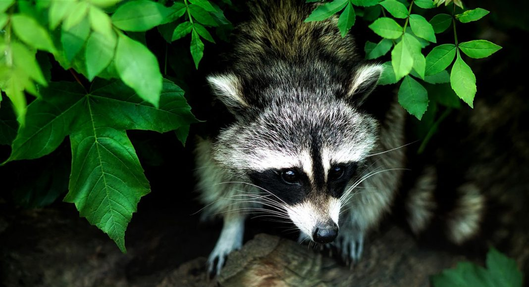Pet Raccoon Gets High On Weed And Confuses Firefighters