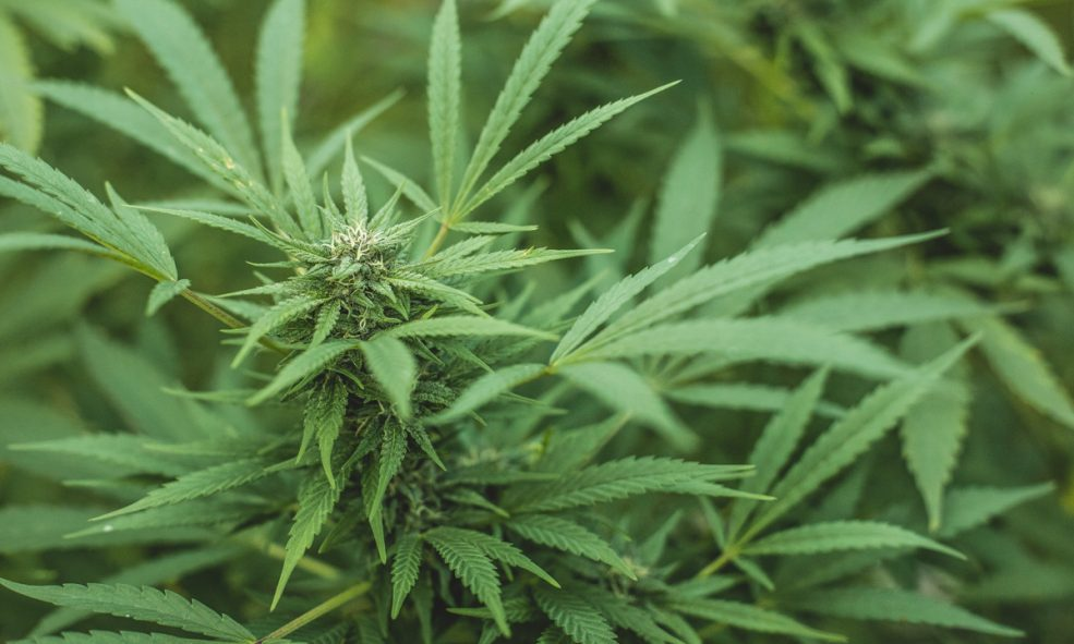 Why Organic Cannabis Is The Right Choice For You