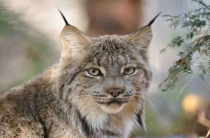 These 2 Lynxes Screaming At Each Other Is Everyone Social Media