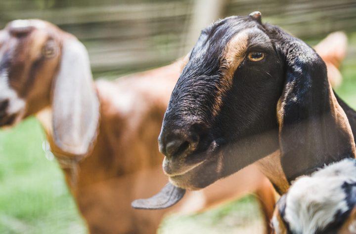 Dumb Guys Blow Marijuana Smoke In Goat's Face, Get Arrested