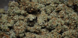 Moldy Marijuana Is The New Reefer Madness