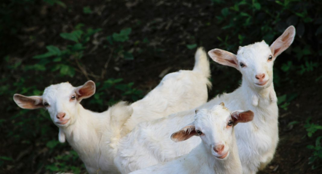 Goats Like It When You Smile At Them