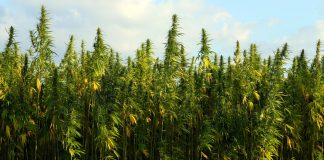 How The DEA Is Jeopardizing Marijuana-Related PTSD Studies On Veterans