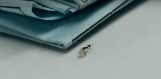 Viral Video Shows Ant Walking Off With Large Diamond