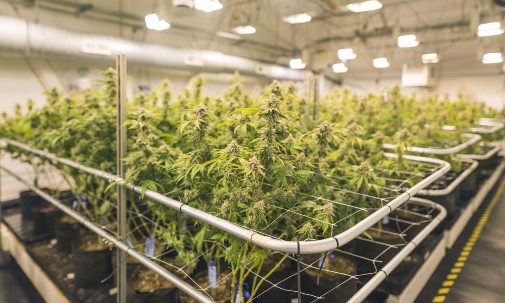 Cannabis companies