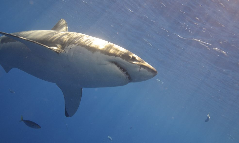 Well-Stocked Great White Shark Lair Found in Pacific