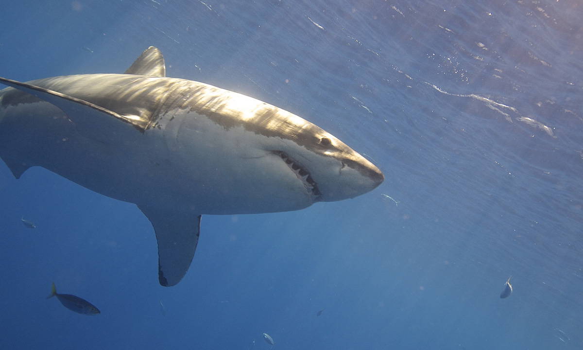 Scientists Discover A Great White Shark Lair In The ...