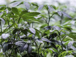 Stockton University In NJ Now Offers A Minor In Marijuana