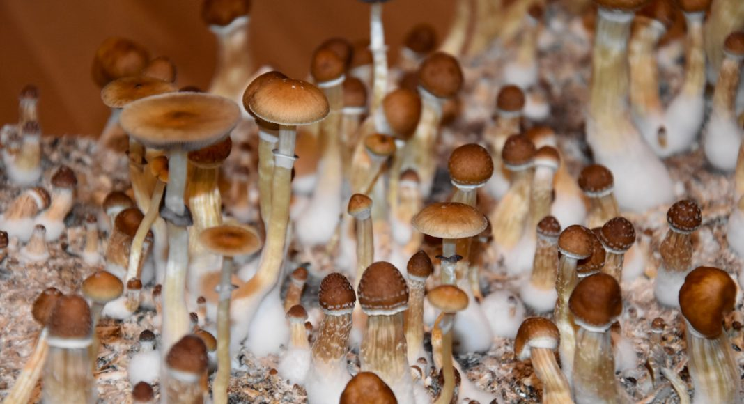 psilocybin mushrooms could be used as medicine by 2021