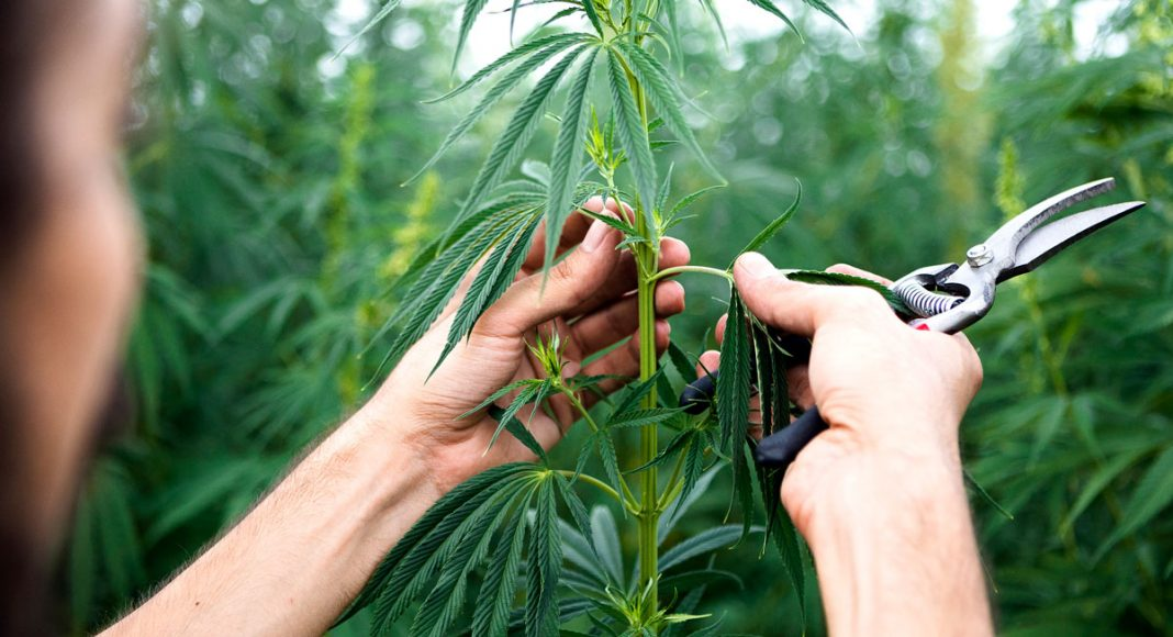dont get too excited about hemp mania and cbd just yet