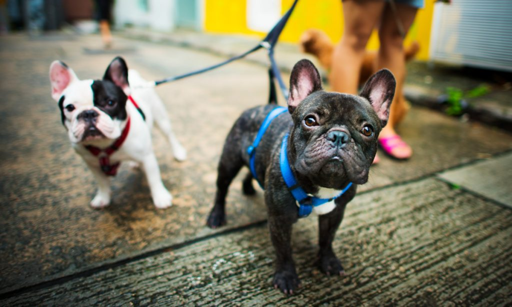 dogs of instagram french bulldog
