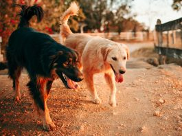could treating dogs with cbd save their lives