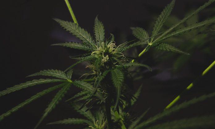 legalization marijuana