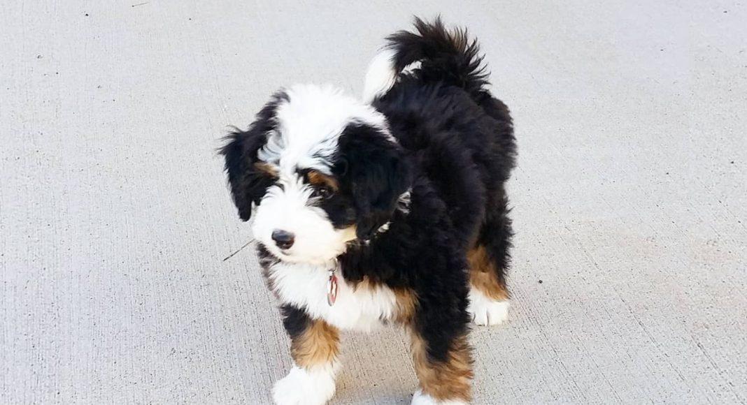 Dogs Of Instagram Bernedoodle