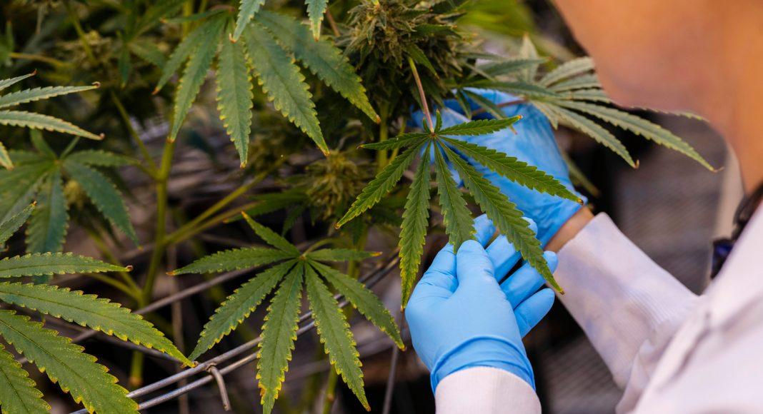 president trump could make marijuana legalization key issue in 2020