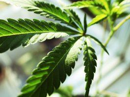 why marijuana companies are rebranding themselves health care companies to wall street