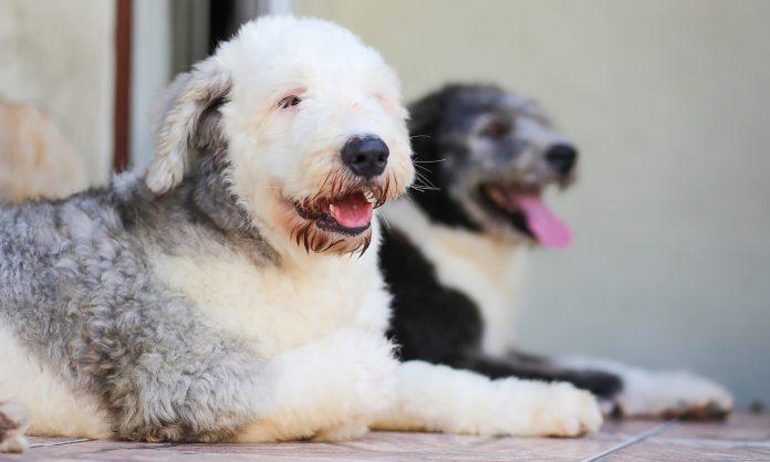 doi old english sheepdog