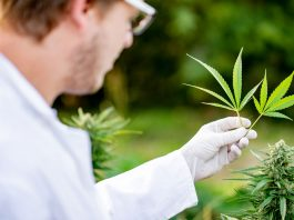 why is the dea flipping the middle finger at marijuana researches
