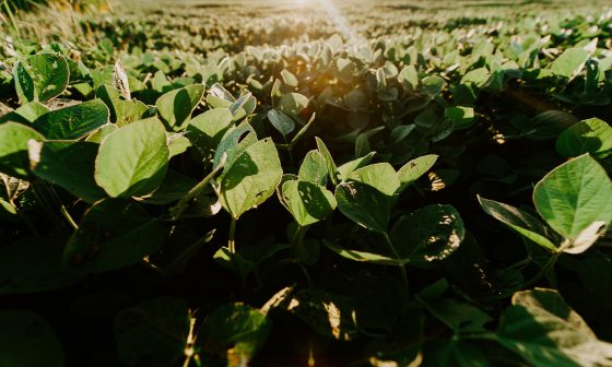 Antioxidants In Soybeans May Protect Against Marijuana-Related Heart Damage