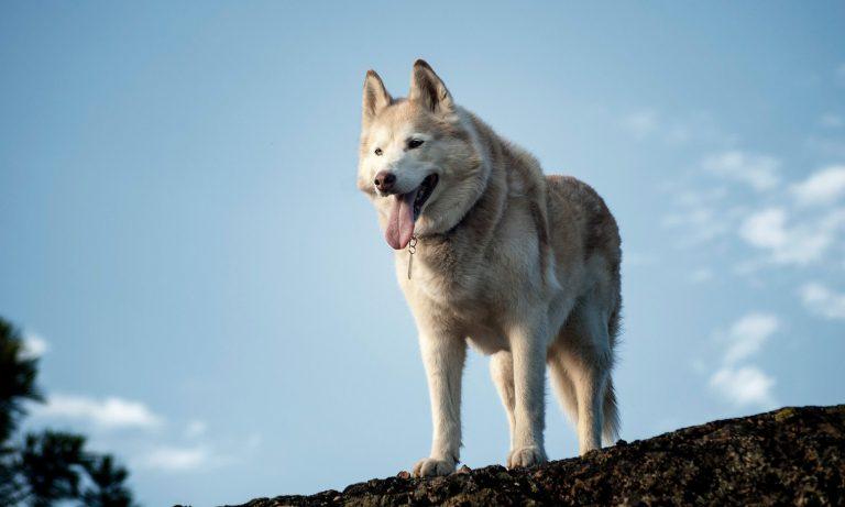Dogs Of Instagram: Siberian Husky