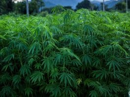 Dumbies Keep Stealing Hemp Crops Thinking They're In 'Marijuana Heaven'
